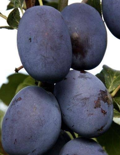 Drzewka owocowe Śliwa Haganta