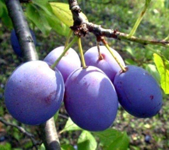 Drzewka owocowe Śliwa Bluefre