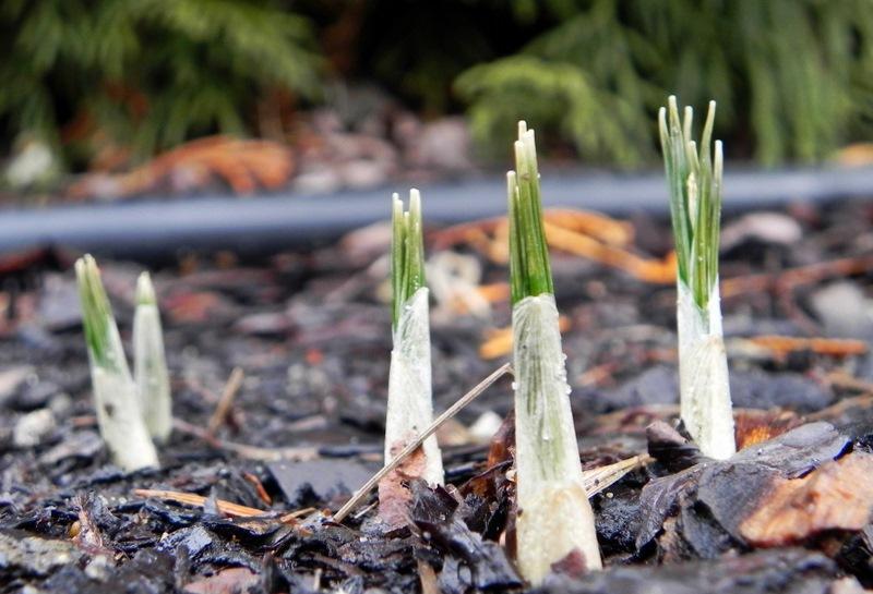 Młode rośliny wczesnowiosenne