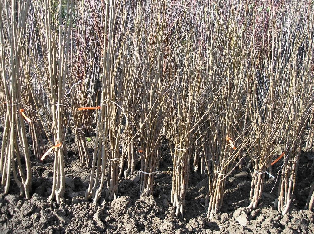 Rośliny kopane z gruntu