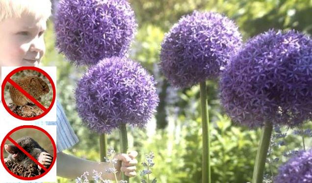 Zachęcamy do uprawy czosnku ozdobnego w swoim ogrodzie! Te niezwykłe rośliny dodają oryginalności i charakteru każdej kwiatowej rabacie! Już teraz poznaj anszą ofertę sprawdzonych odmian czosnków! My polecamy zwłaszcza czosnek neapolitański! Szybko realizujemy każde zamówienie!