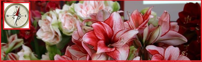 Polecamy uprawiać amarylis kwiat w swoim domu. Jest to piękna i wyjątkowa roślina cebulowa, która zachwyci każdego! Poznaj naszą szeroką ofertę odmian amarylisa! Zapraszamy!