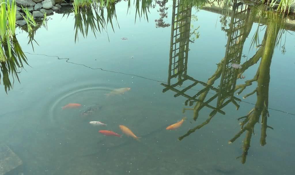 Ryby wpuszczone do stawu wczesną wiosną