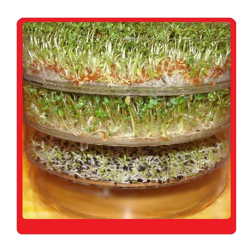 Kiełkownica nasiona na kiełki