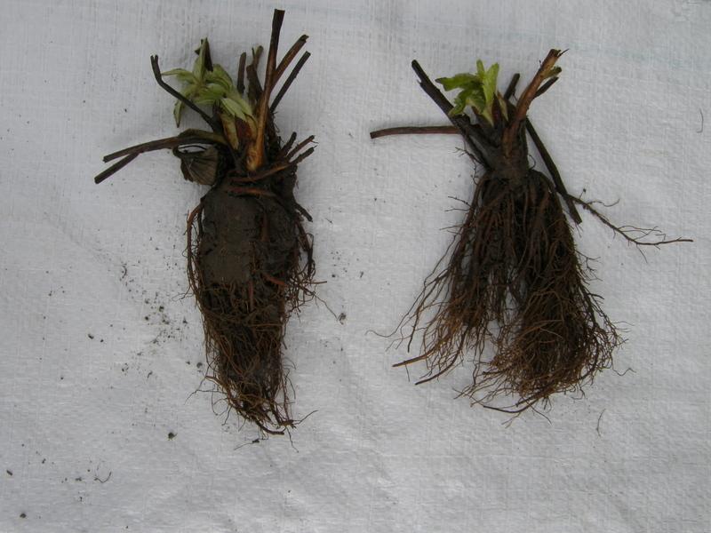 Sadzenie truskawek Frigo