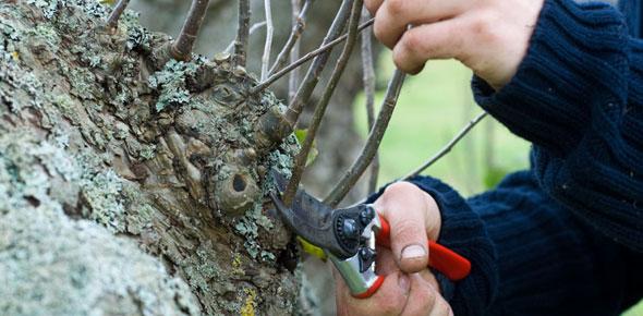 Cięcie sanitarne drzew owocowych