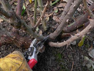Cięcie prześwietlające drzew i krzewów liściastych