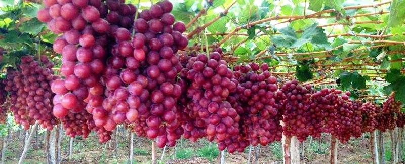 Winorośl winogron winogrona