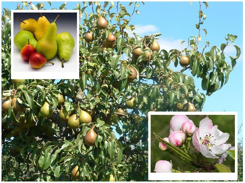 Odmiany gruszy są bardzo zróżnicowane i podzielone na grupy względem dojrzewania owoców. Poznaj naszą ciekawą ofertę odmian grusz! Gwarantujemy wysoką jakość i szybką realizację zamówienia!