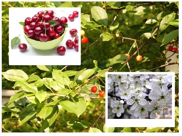 Odmiany wiśni są bardzo różne i jest ich bardzo dużo. poznaj naszą ciekawą i sprawdzoną ofertę z odmianami wiśni. Gwarantujemy wysoką jakość i fachową obsługę! Zapewniamy szybką dostawę zamówienia!