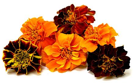 Zachwycają Cie kwiaty aksamitki? Chcesz uprawiać aksamitkę w swoim ogrodzie? Sprawdź naszą ofertę z nasionami aksamitki! Gwarantujemy szeroki wybór odmian oraz wysoką jakość! Zapraszamy