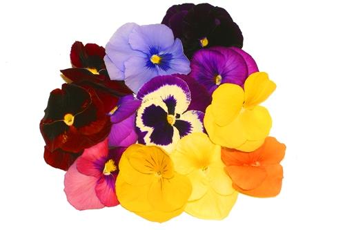 Polecamy nasze nasiona bratków! Są wysokiej jakości i w dobrej cenie! Dzięki naszym nasionom bratków wyhodujesz całe łany prześlicznych kwiatów w sam raz na wiosnę! Szybko realizujemy dostawę!