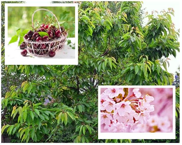 Odmiany czereśni to niezwykłe bogactwo wyboru koloru owoców, miąższu, wczesności dojrzewania. Poznaj nasza ciekawą ofertę odmian czereśni! Gwarantujemy wysoką jakość i szybką realizację zamówienia!