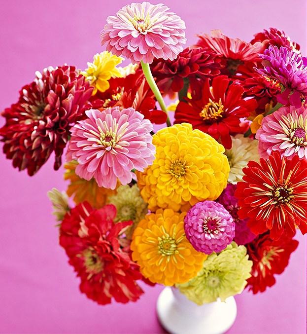 Poznaj naszą szeroką ofertę nasion cynii! Gwarantujemy wysoką jakość i niską cenę! Szybka dostawa! Poznaj piękno kwiatów cynii!