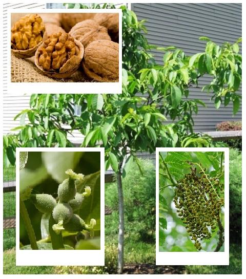 Orzechy włoskie to bardzo popularne drzewa. Jest łatwe w uprawie i ma nie tylko zdrowe i smaczne orzechy ale również ozdobny pokrój pięknej korony. Poznaj nasza ofertę i posadź orzecha włoskiego w swoim ogrodzie!