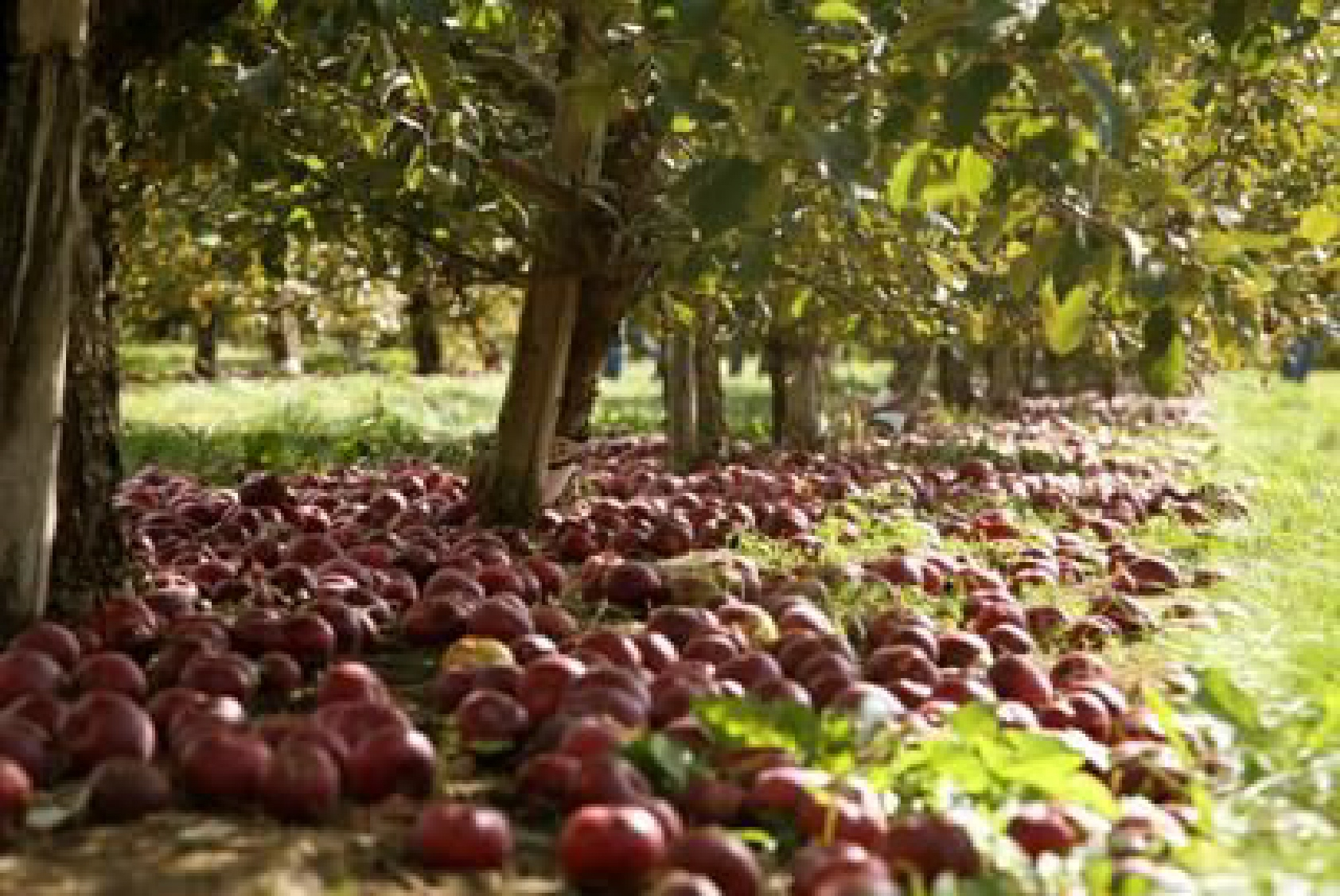 Sad jabłoni