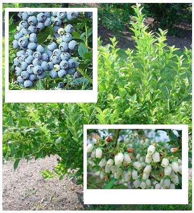 Krzewy owocowe Borówka