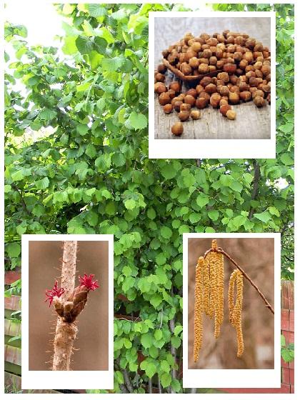 Orzechy laskowe to bardzo smaczne owoce, które są bardzo popularne w naszym kraju. Gwarantujemy wysoką jakość naszych sadzonek orzechów laskowych! Poznaj naszą ciekawą ofertę i ciesz się własnymi orzechami laskowymi.