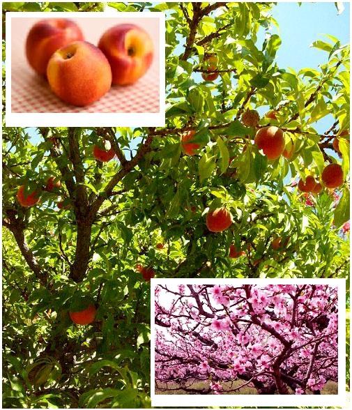 Odmiany brzoskwini są zróżnicowane, ale każda rodzi pyszne, słodkie owoce. Poznaj nasza ofertę z odmianami brzoskwini! Gwarantujemy wysoką jakość i fachowe porady ogrodnicze!