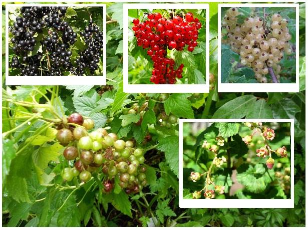 Krzewy owocowe Porzeczka