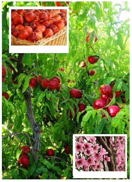 Nasza nektarynka odmiany to sprawdzone przez najlepszych ogrodników odmiany nektarynek! Proste w uprawie i plonujące soczyste i słodkie nektarynki. Gwarantujemy wysoką jakość i szybką realizację zamówienia!