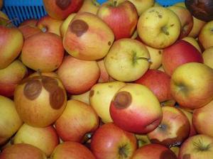 Gorzka zgnilizna jabłek
