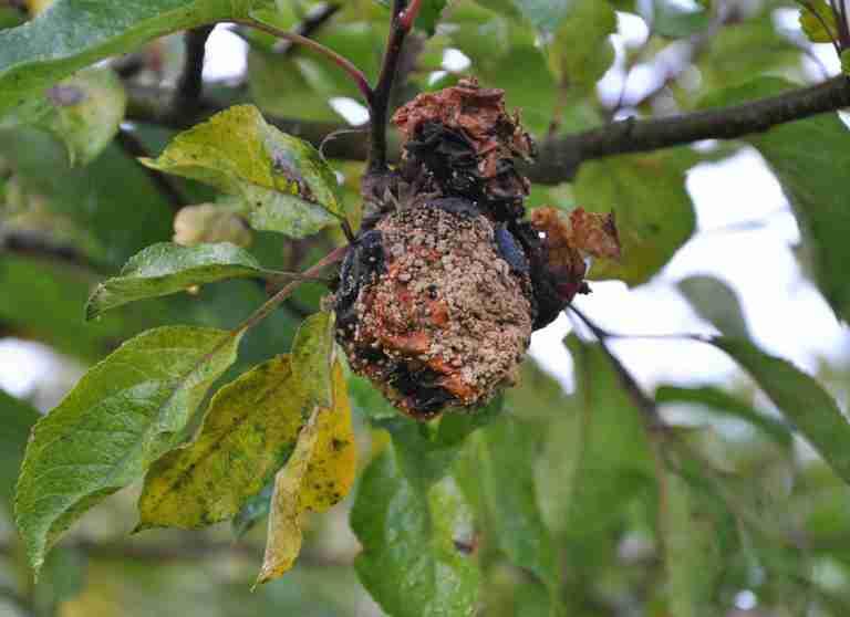 Brunatna zgnilizna drzew ziarnkowych