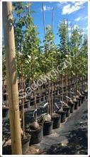 Drzewka owocowe w doniczkach to ciekawa oferta dla osób, które chcą uprawiać własne drzewka owocowe. Proponujemy poznać bliżej naszą ofertę drzewek owocowych. Gwarantujemy wysoką jakość oraz rozsądne ceny! Szybko realizujemy każde zamówienie!