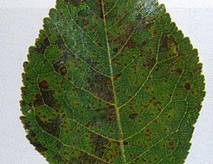 Drobna plamistość liści jabłoni