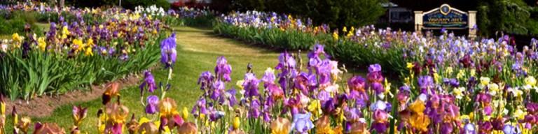 Irys kwiat jest niezwykle piękną rośliną, która zachwyci każdego swymi pięknymi kwiatami. Zapraszamy do poznania naszej oferty odmian irysów! Szybko realizujemy każde zamówienie.