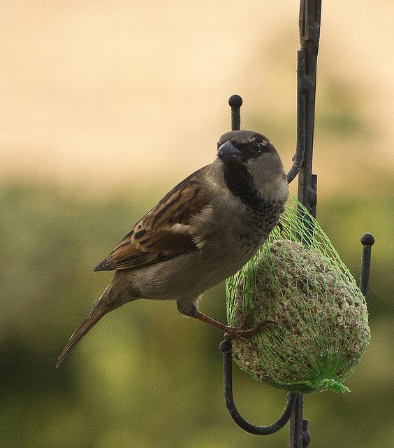 pokarm dla ptaków wróbel