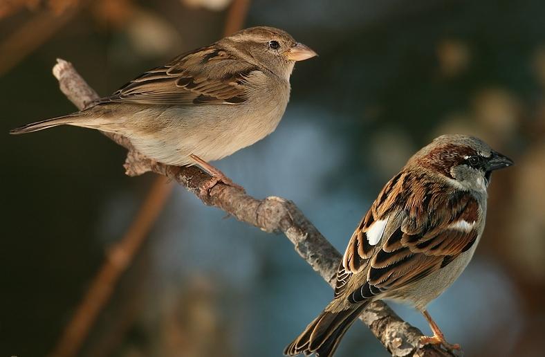 Ptaki: wróbel samiec i samica