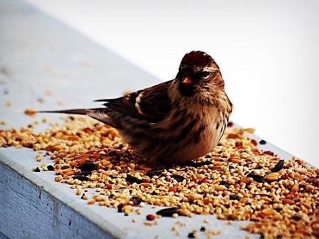 Ptak w mieszance ziarna