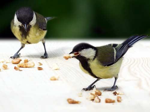 Sikorki: samiec i samiczka