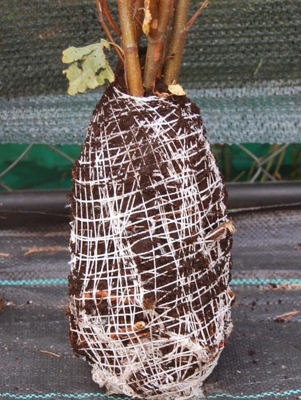 Zabalotowane i zabezpieczone korzenie