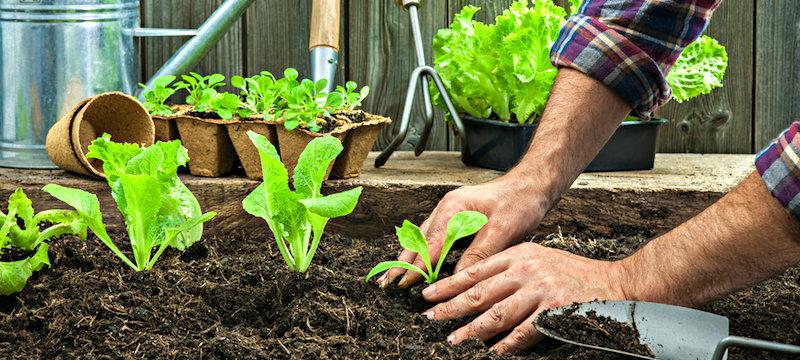 Rozsada warzyw gruntowa sadzonki warzyw